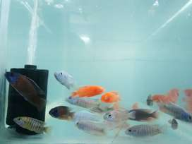 Imported cichlids and Angels varieties!!