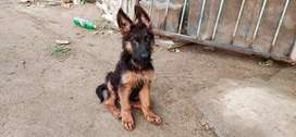 Long coat age 3month 5 days healty and active