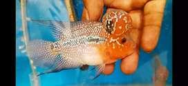 Flowerhorn fish AAA grade important monster kok