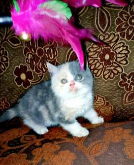 Kucing Exotic Shorthair Calico