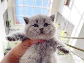 Kucing BSH British Shorthair Sertifikat Ped ICA FIFe