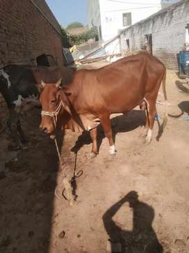 Milking Cow for Sale