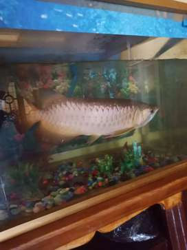 Ikan arwana golden red 50 cm