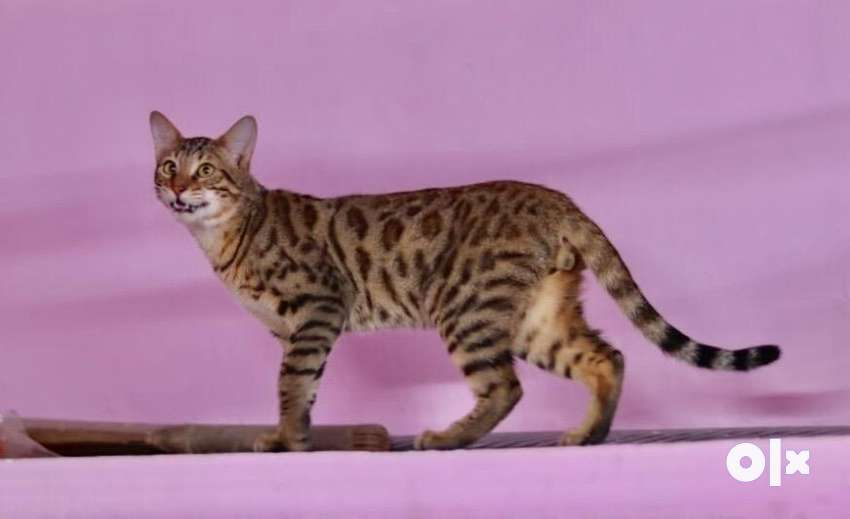 bengal kittens available 0