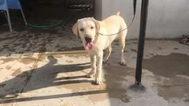 Highly pedigreed Labrador puppy from imported parents