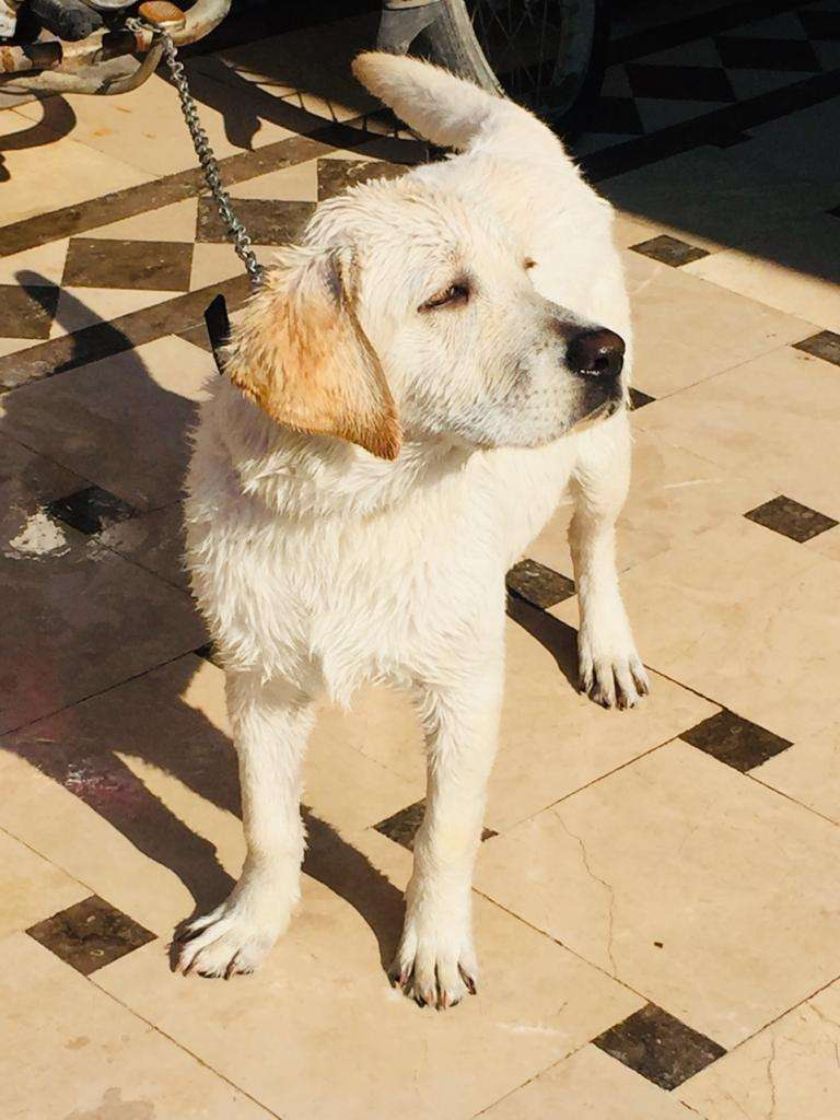 5Months labrador puppy for sale 0