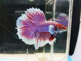 Ikan cupang hm / halfmoon big ear male