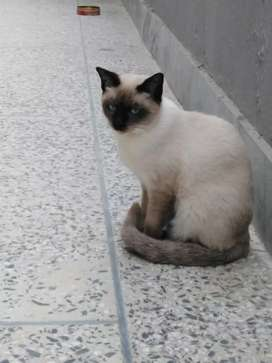 Siamese adult male
