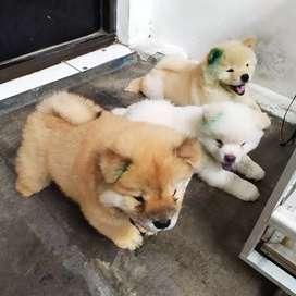 Bhicon puppys stb,vaksin,chow2 puppys