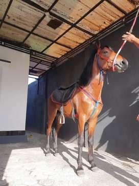 Kuda Pacu Cap MN