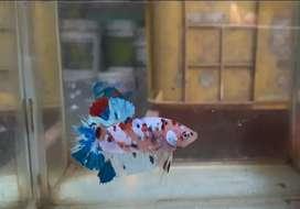 Ikan cupang multicolor grade
