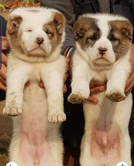 Alabai pair for sale contact me on whatsapp please