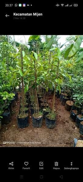 Bibit durian Duri Hitam berkaki 3