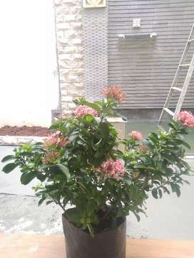 Asoka bunga ping
