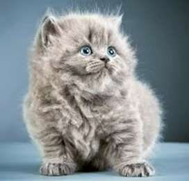 Pure Persian lineages kittens for sale