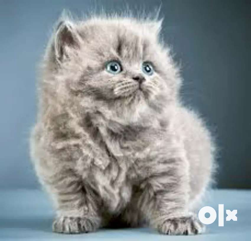 Pure Persian lineages kittens for sale 0
