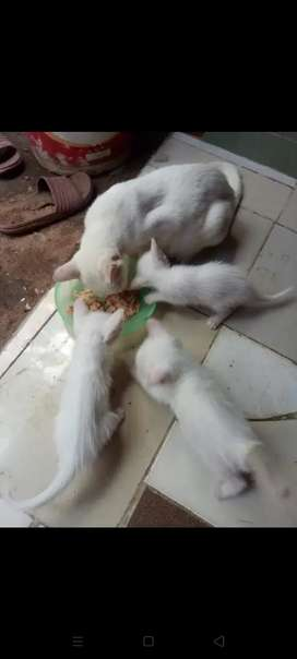 Kucing mixdome white sholid