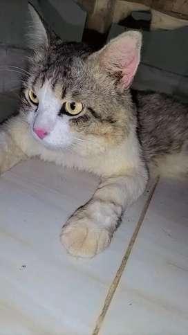 Kucing Persia mixdom
