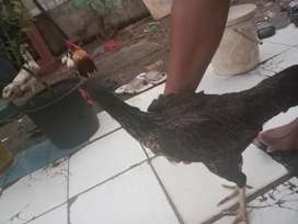 Ayam Kampung daerah depok