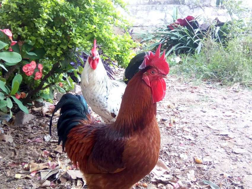 Murga (Rooster) for sale