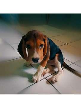Jual anjing jenis beagle 3 warna