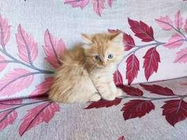 Persian Bob tail female kitten fixed price no bargain. .