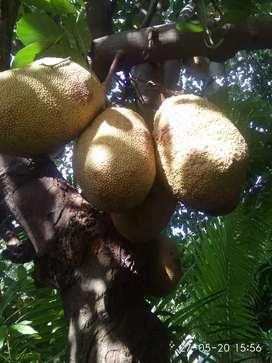Jual buah nangka sudah masak tggal ambil
