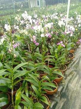 Jual tanaman hias anggrek dendrobium-bisa langsung di kirim free onkir