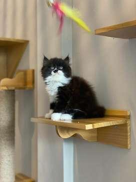 Kitten persia chobby