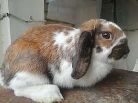 Rabbit lop male breeder punch face