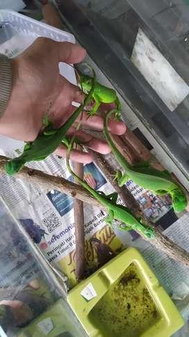 baby iguana ada 8 ekor