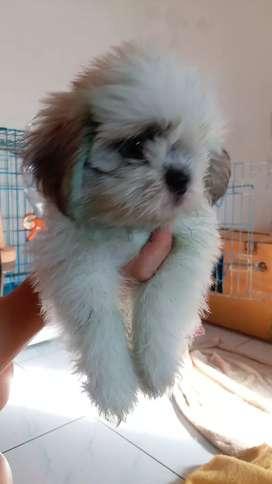 Jual anakan anjing Shihtzu lahir 4 September 2019