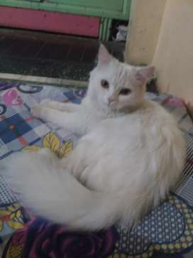 Pure Persian female cat...13 month old