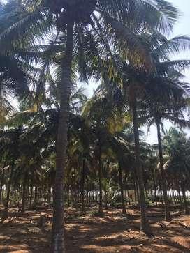 Coconut farm/agriland/agriculture land/agricultural land/farmland/land