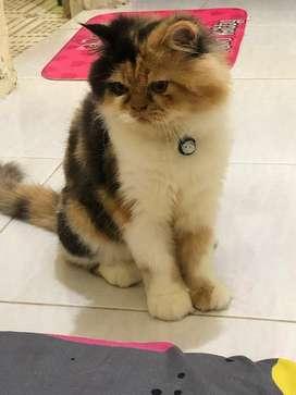 Kucing Betina Calico 5 Bulanan Vaksin Komplit
