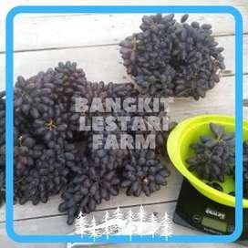 JUAL Pohon Anggur Brazil Juragan