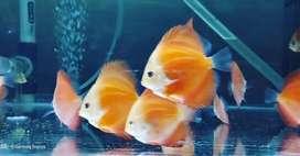 Ikan Hias Discus RGD intermedite