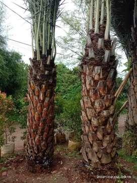 Supplier pohon kurma-siap kirim plus tanam