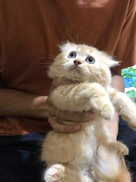 lepas adopsi kucing gembul