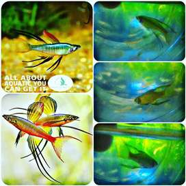 Ikan iriantherina untuk aquarium dan aquascape
