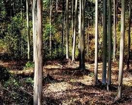 यूकेलिप्टस के पेड़