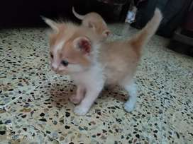 1 month old cat for sell
