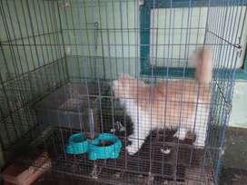 Kucing persia + kandang