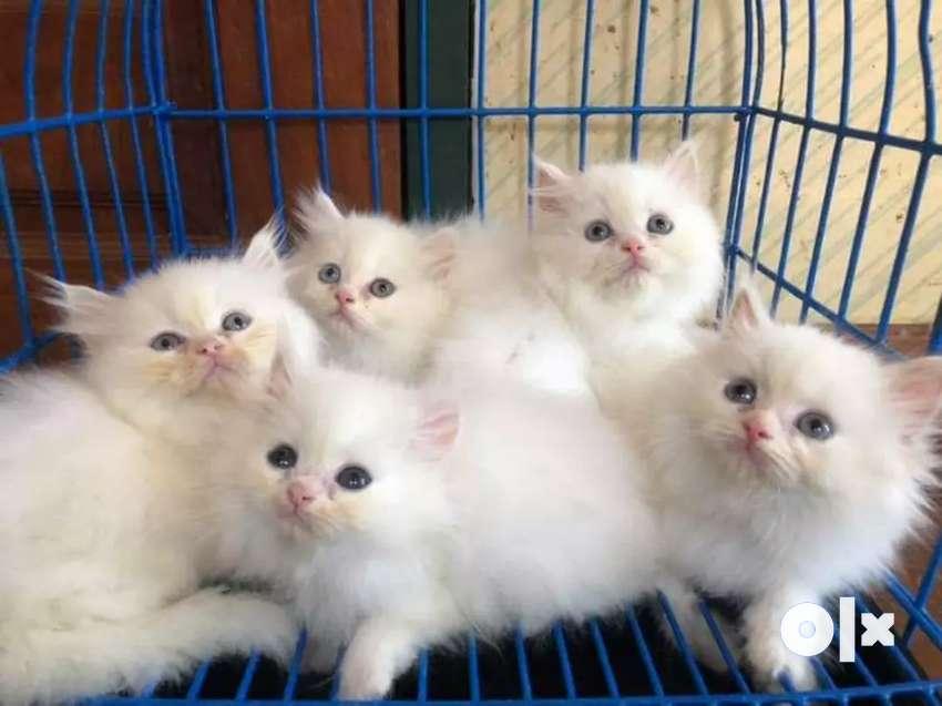Blue Eyes Persian kitten for sale 0