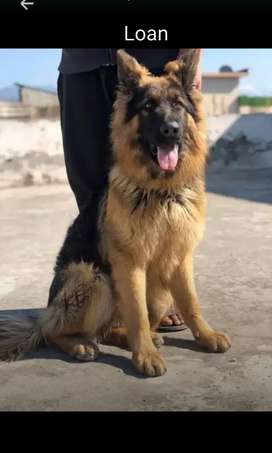 German Loan Shepherd