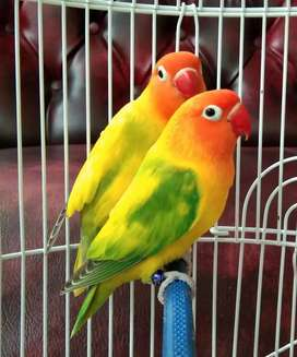 Burung Love Bird GS