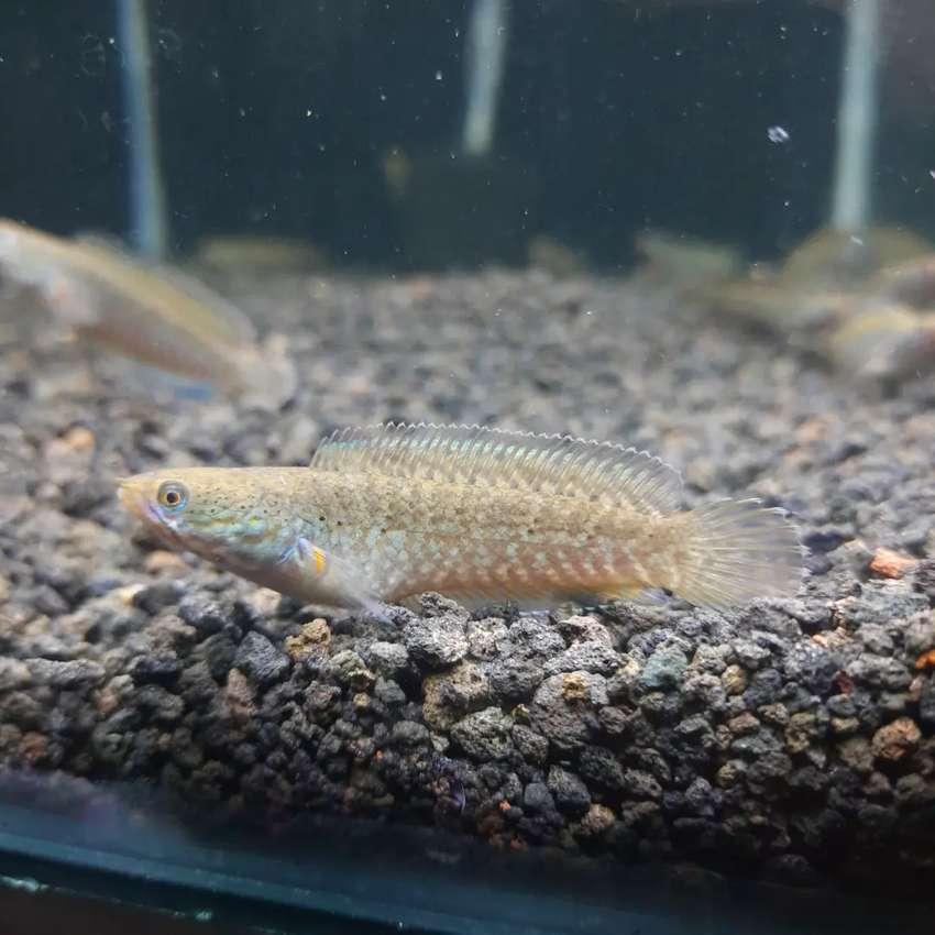 Ikan Hias Channa Andrao full pelet