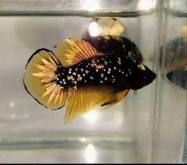 Ikan cupang avatar kuning cooper(kuncop) top grade murah