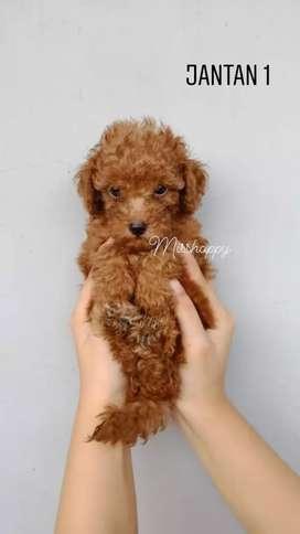 dijual anjing toy poodle no stambum (jantan)