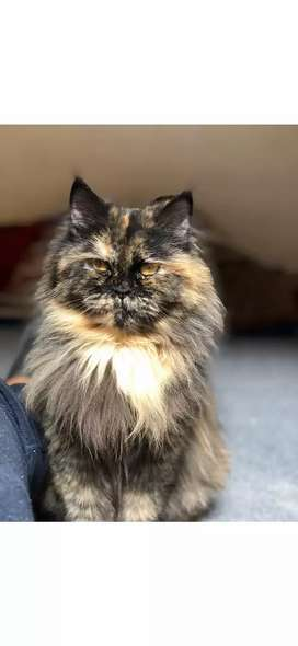 Female Persian Cat punch face triple coated